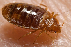 Mattress Bugs bugs can become a real problem if you don't know the warning signs of an infestation and how to treat it